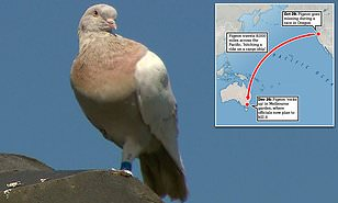 Long Distance Flying Pigeon To Be Killed Due To Biosecurity Threat